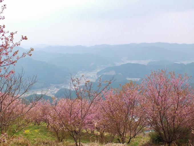 2月に桜と菜の花が満開!高知「桑田山雪割り桜」