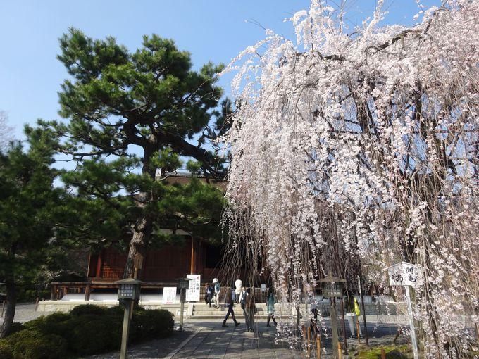 阿亀桜【千本釈迦堂のしだれ桜】
