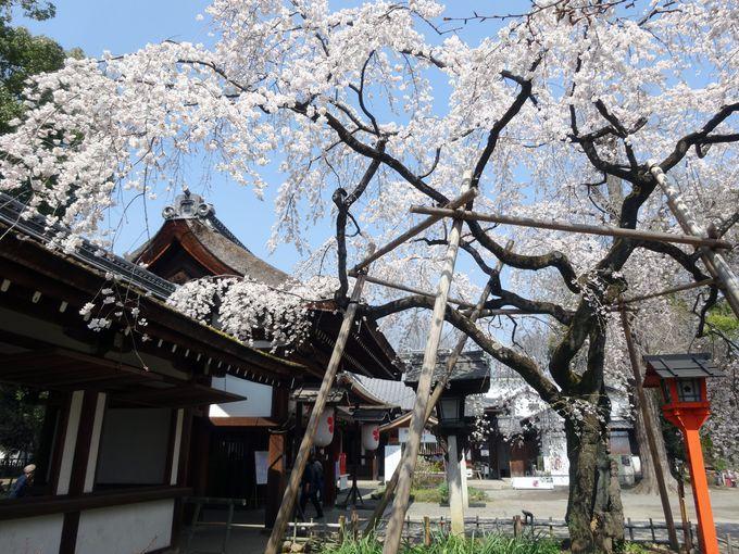 魁【平野神社のしだれ桜】