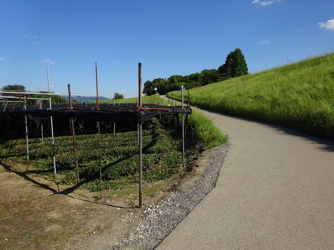 木津川河川敷では京都特産の抹茶の原料となる茶葉を栽培