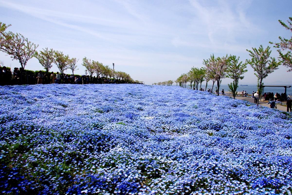 大阪湾をバックに咲き誇る約100万株のネモフィラ畑