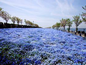 100万株のネモフィラが咲き誇る「大阪まいしまシーサイドパーク」