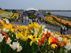 大阪湾をバックに咲き誇る250万輪のゆり!「大阪舞洲ゆり園」