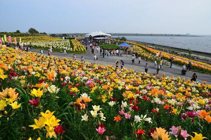 大阪湾をバックに咲き誇る約250万輪のゆりの花畑に感動