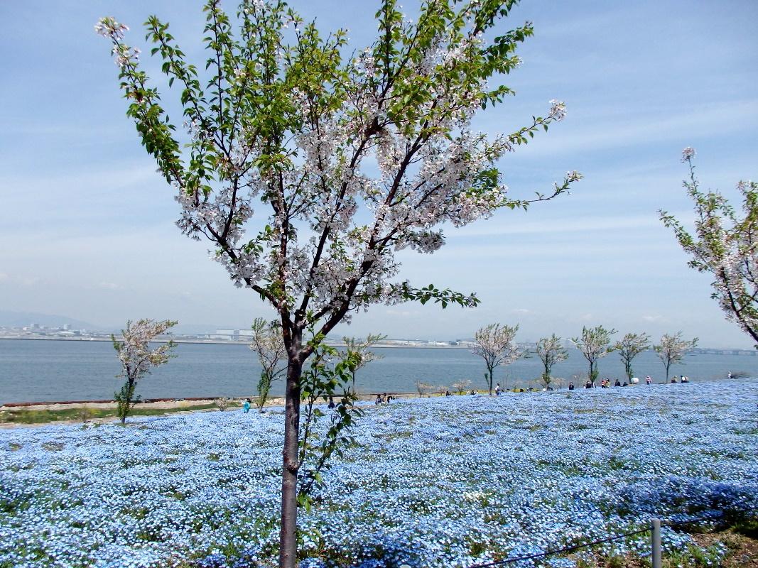 ネモフィラと桜並木の競演「桜コラボゾーン」