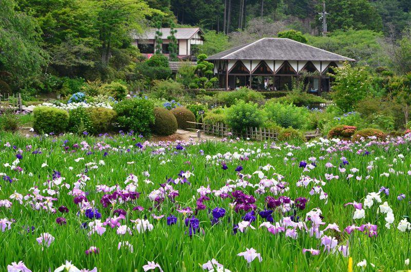 約100万本の花菖蒲が咲き誇る!奈良「花の郷 滝谷花しょうぶ園」で初夏を満喫