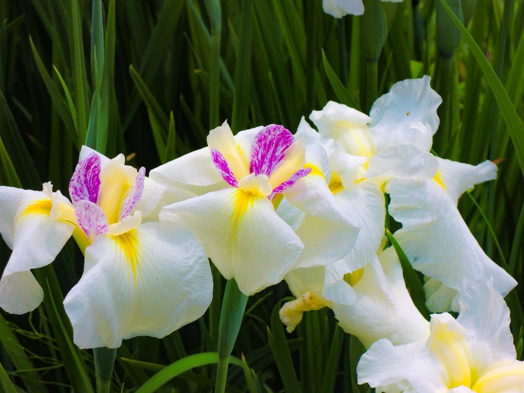 観賞用の花しょうぶの種類は