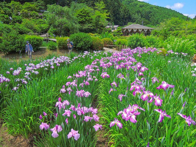 艶やかな初夏の風物詩!奈良「花の郷 滝谷花しょうぶ園」