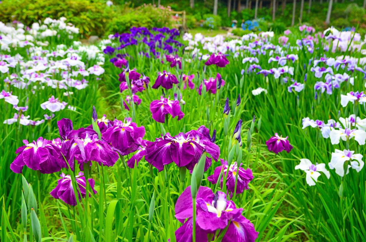 花菖蒲と紫陽花のコラボも楽しい