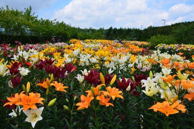 まずは「篠山玉水ゆり園」でユリの花と香りを楽しもう