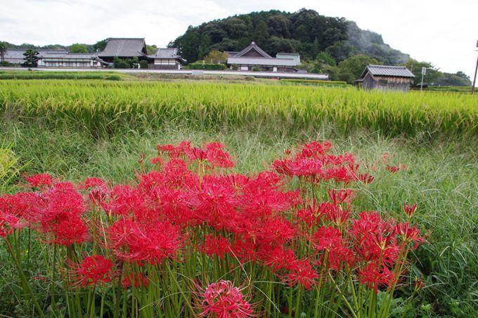 明日香村のもうひとつの彼岸花の名所「橘寺」