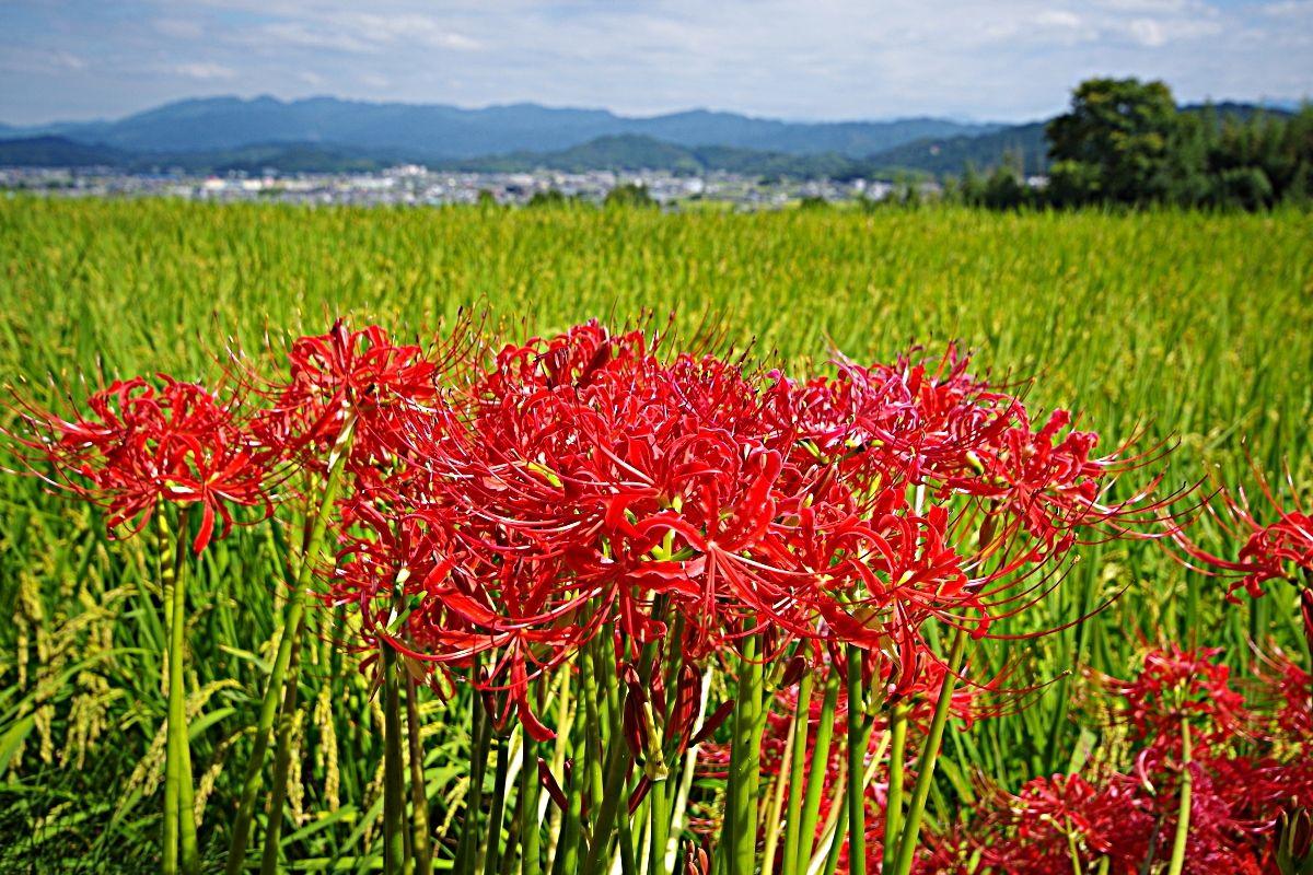 彼岸花咲く奈良県・初秋の「葛城古道」を歩こう!