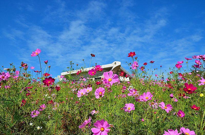 100万本のコスモスが咲き誇る!和歌山「鷲ヶ峰コスモスパーク」