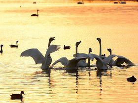 鳥取・中海「米子水鳥公園」は西日本最大のコハクチョウの越冬地