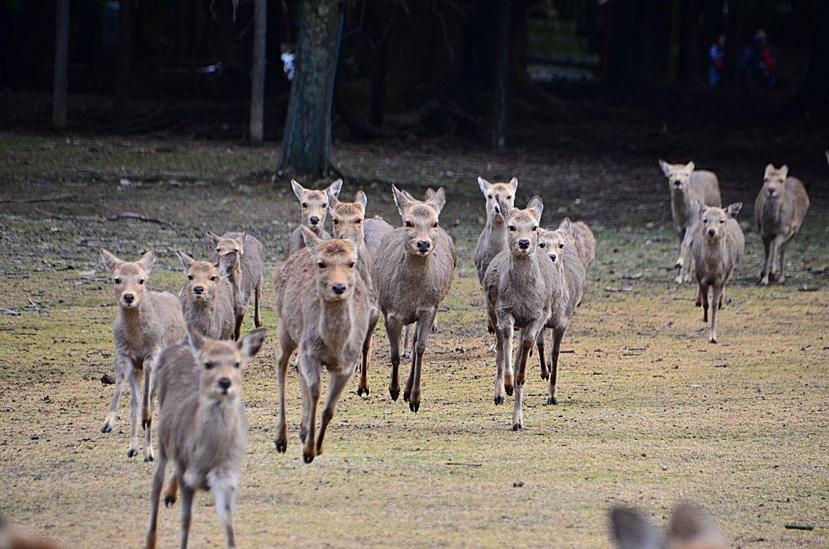 奈良・飛火野の風物詩「鹿寄せ」で古都の朝を楽しもう!