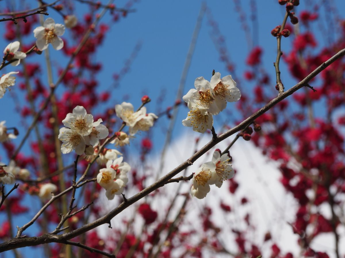 梅の花は「大阪府の花」