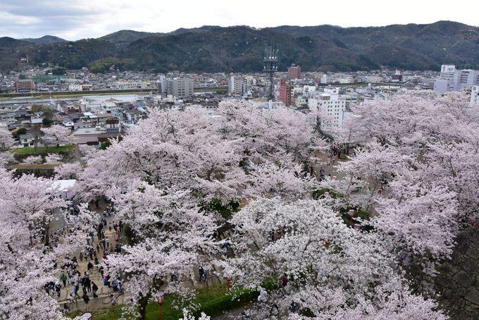 天守閣跡からの桜のじゅうたんを楽しもう