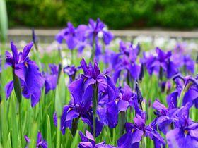 奈良・剣聖の里「柳生」で花しょうぶと柳生家ゆかりの地を訪ねよう!