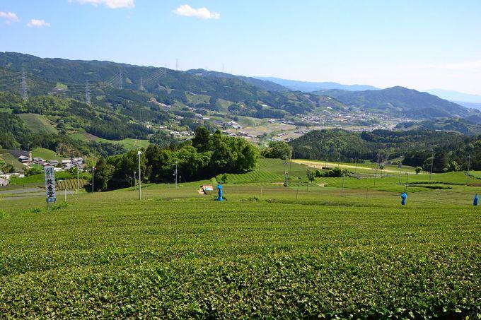 和束町茶源郷めぐりのハイライト「原山・円形茶園」