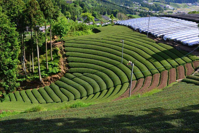 お茶の京都・和束町「茶源郷めぐり」をレンタサイクルで満喫!