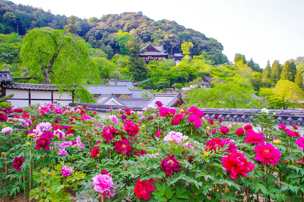 境内に色とりどりの牡丹の花が咲き乱れる「ぼたん祭」