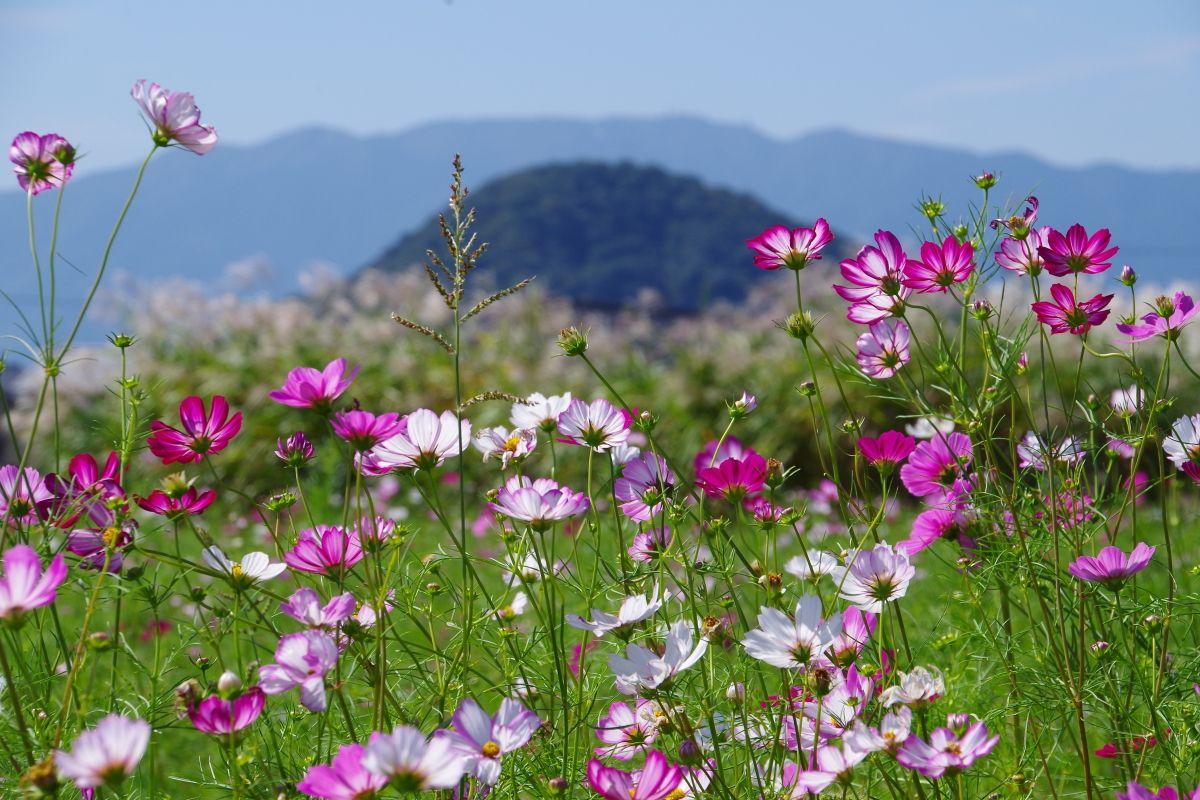 大和三山をバックに咲き誇るコスモス