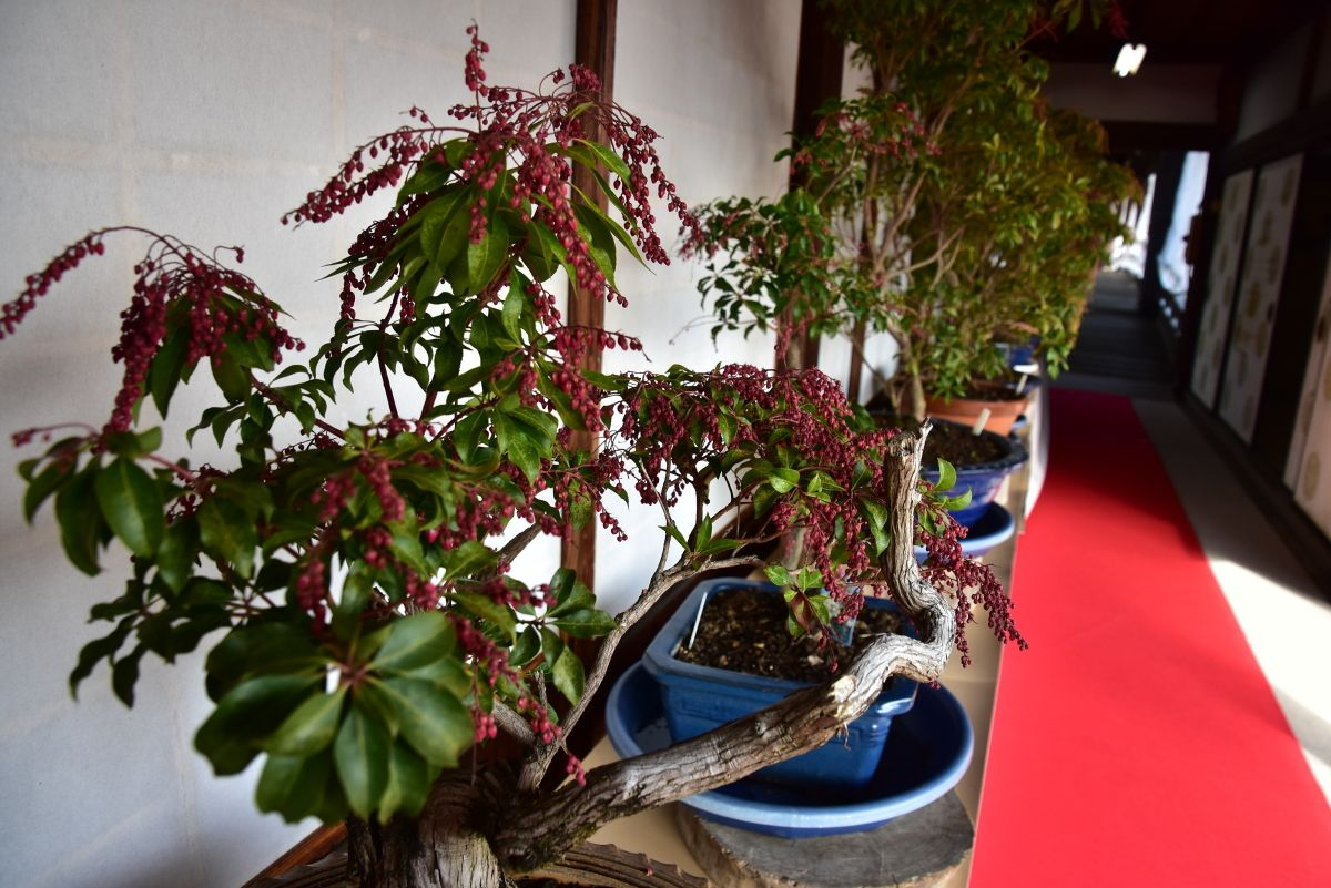 14時〜:長浜のお雛さまめぐり・大通寺の馬酔木展へ