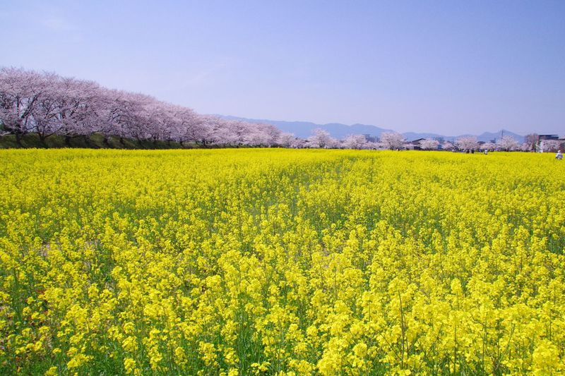 奈良・春の藤原宮跡へ250万本の菜の花を見に行こう!