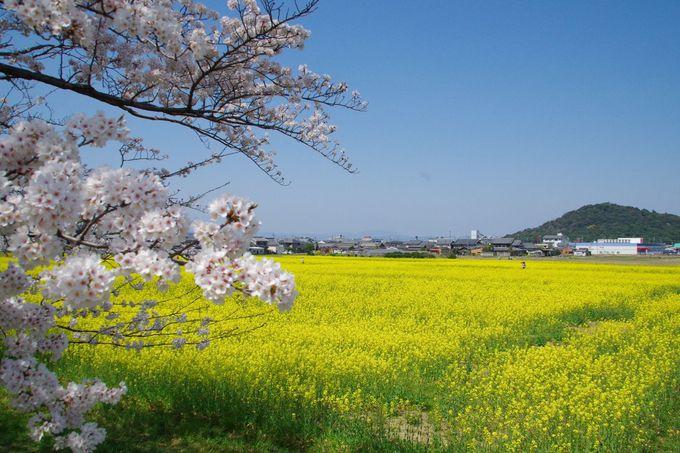 菜の花園から大和三山の眺望を楽しもう