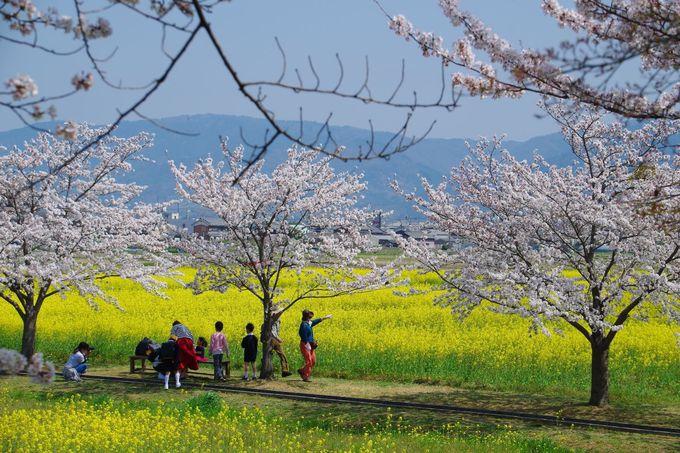見渡す限りの菜の花が広がる「春の藤原宮跡」
