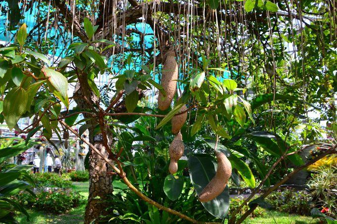 「ソーセージの木の実」がある大温室