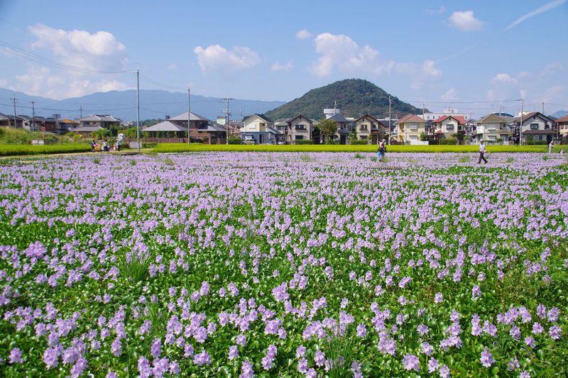 奈良・涼感漂う薄紫の花!本薬師寺跡の「ホテイアオイ」の群生