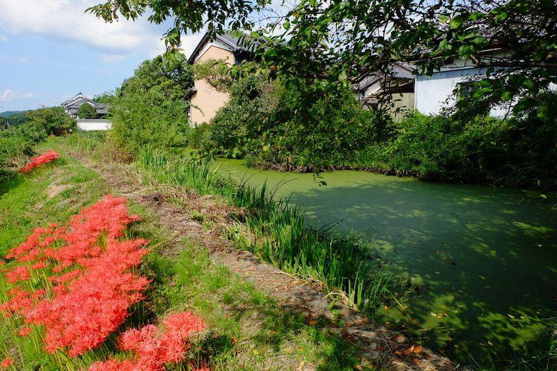 山の辺の道 彼岸花ルートのクライマックス「竹之内環濠集落」