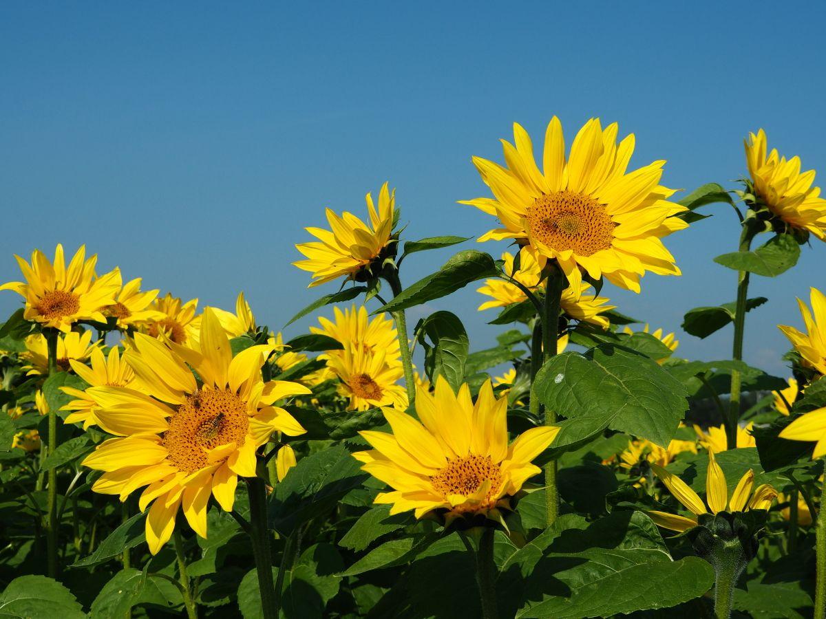 晩秋の芽室町で咲き誇る「向日葵」も楽しみたい