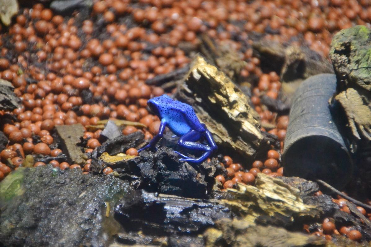 熱帯雨林の宝石といわれる「ヤドクガエル」なども必見