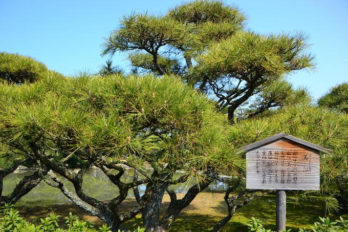 中津万象園でもっとも有名な「大傘松」