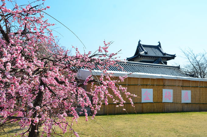 お城の櫓の中で展示される約120鉢の盆梅