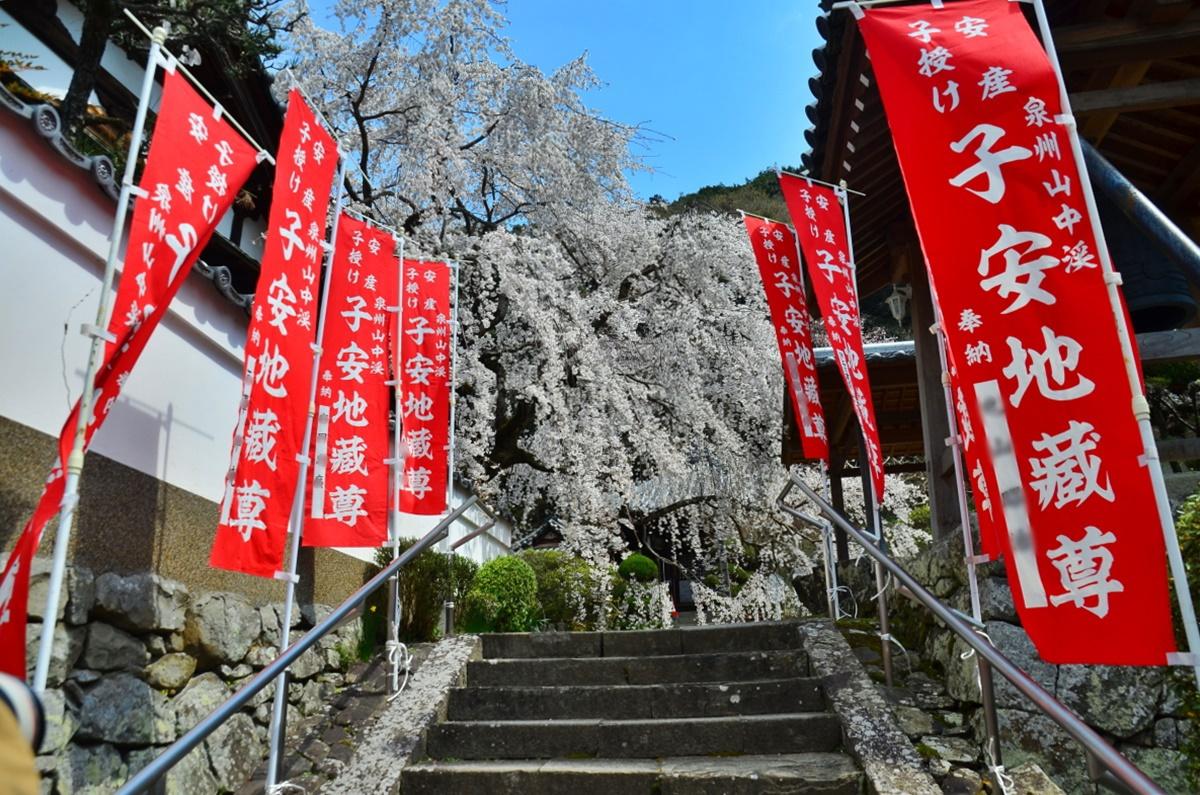 見事な枝垂れ桜のある「地福寺」