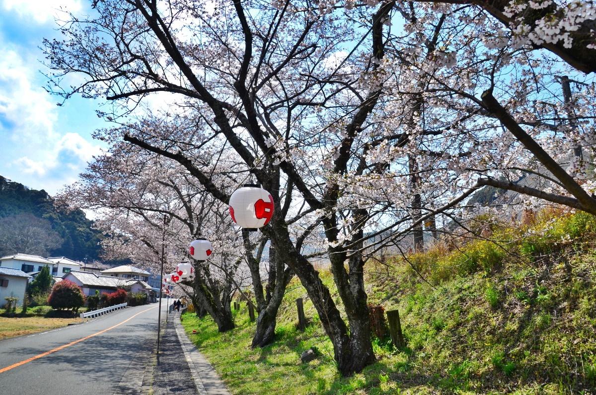 「山中渓桜祭り」ではライトアップも