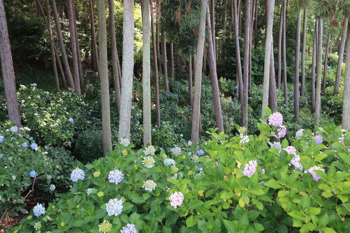 「紫陽花の谷」と「紫陽花の小道」も歩いてみたい