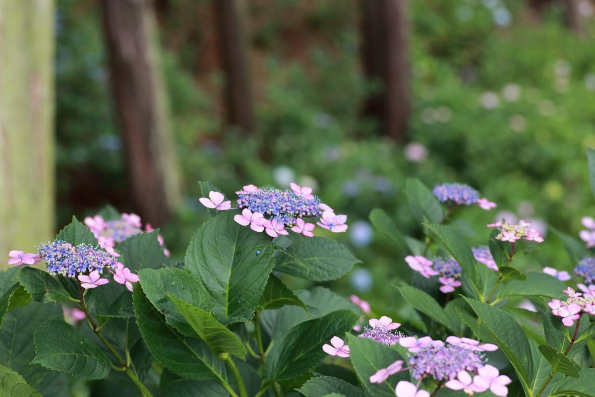 様々な種類の紫陽花も楽しみ