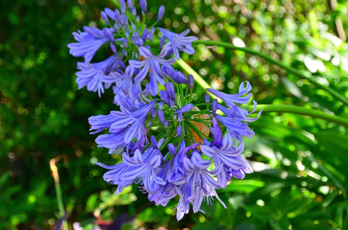 ハスのほかに楽しめる夏の花も