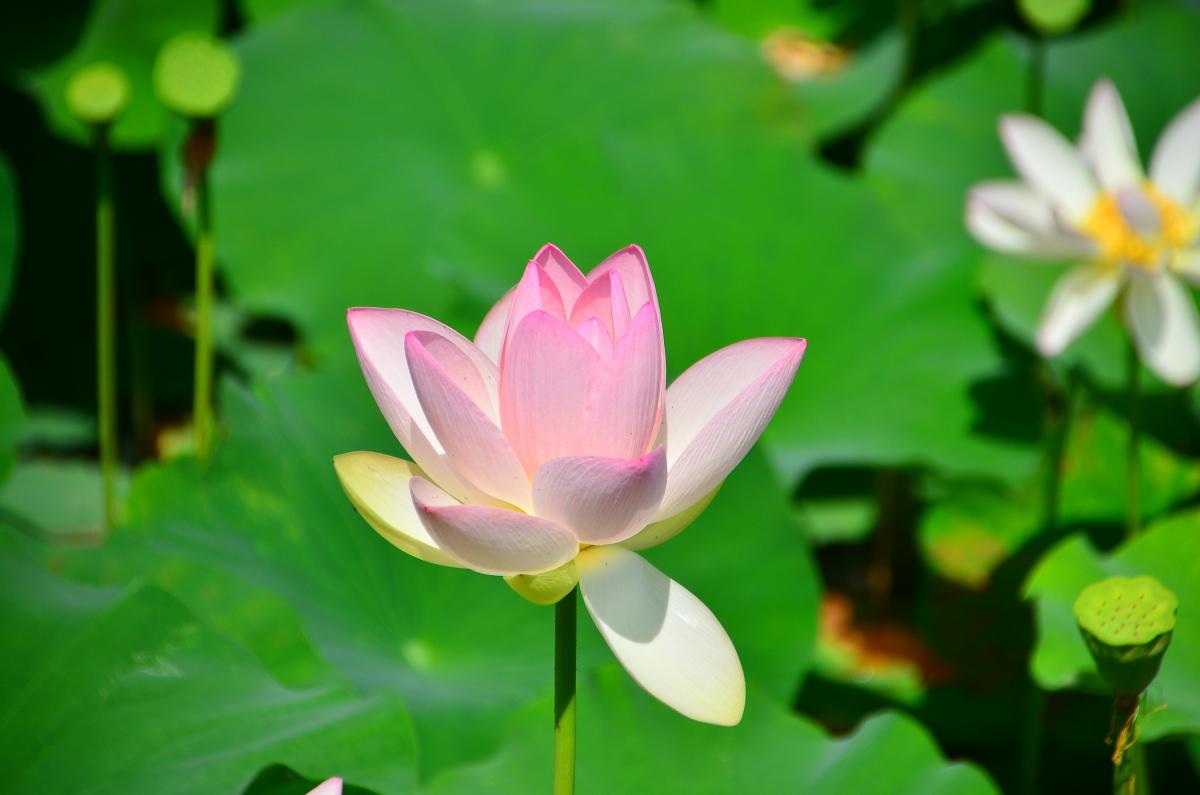 長池オアシスを代表する「ハスの花」とは