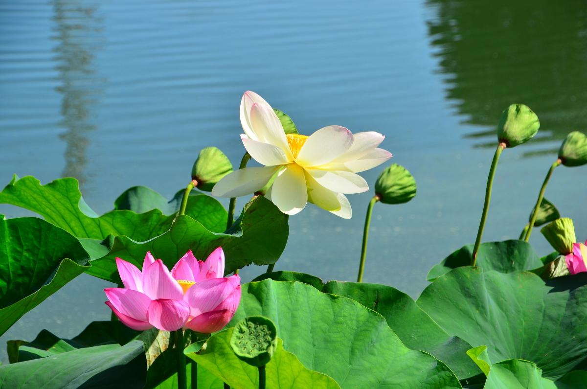 初夏の池に咲き誇るハスの花!大阪・熊取「長池オアシス」