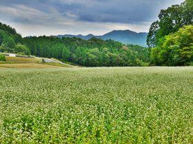どこまでも続く広大な白い絨毯!奈良・桜井「笠のそば畑」