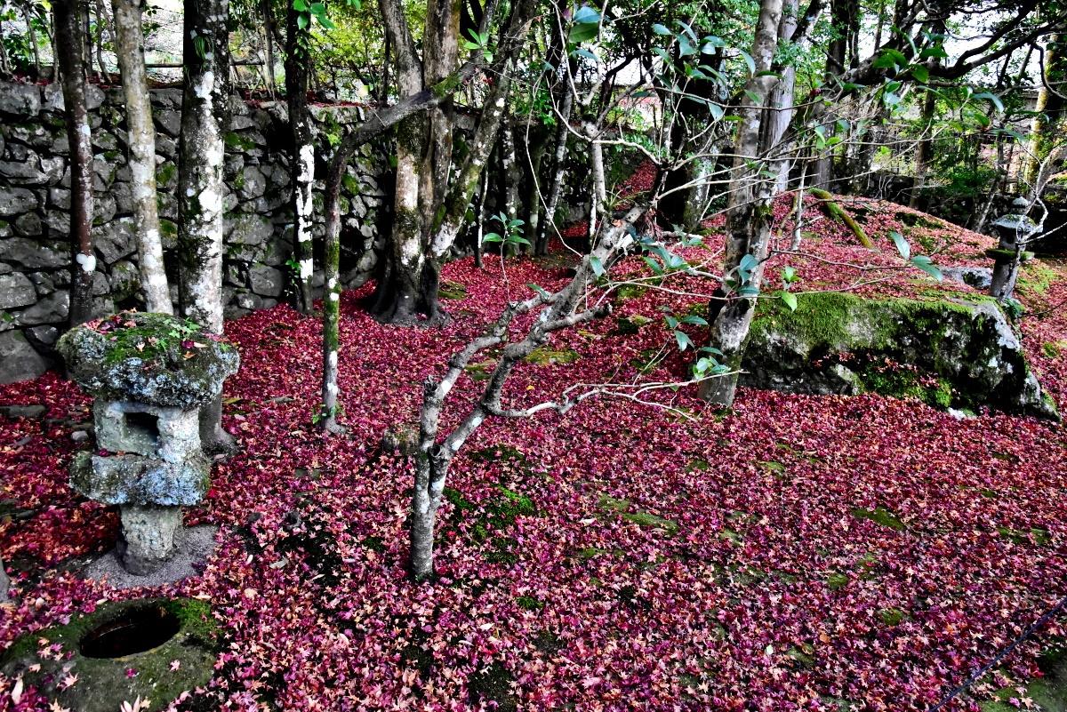 晩秋の旧竹林院庭園では目にも鮮やかな散り紅葉も