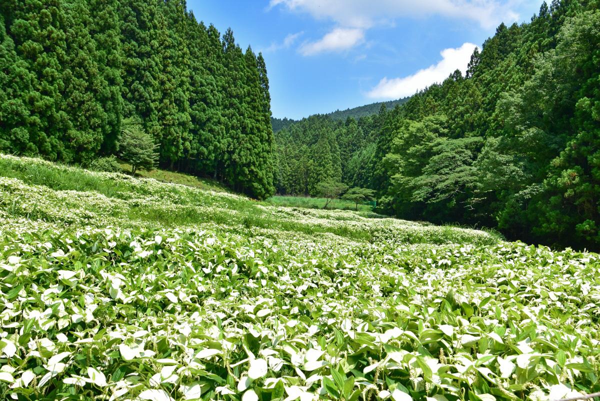 清らかな白い群生!「岡田の谷の半夏生園」