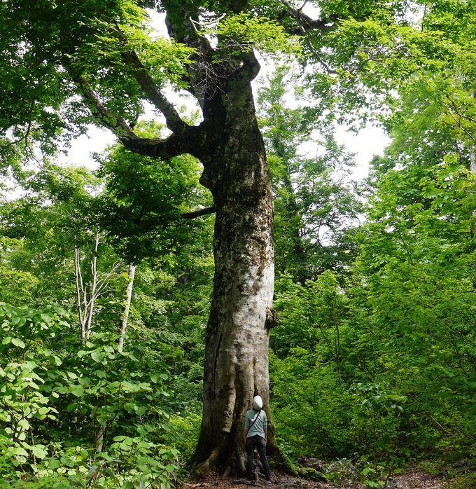 白神山地を見守る母なる木「マザーツリー」