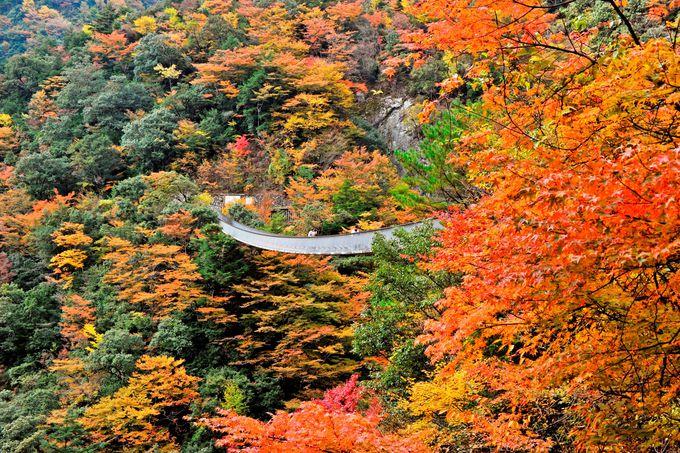 高さ55メートルから眺める紅葉「梅の木轟公園の吊橋」