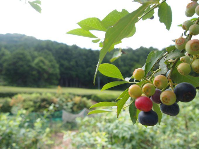 周りは揖斐地方ならではの茶畑が広がり、緑がいっぱい!